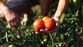 Рука фермера выбирая зрелый томат в огороде видеоматериал