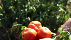 Рука фермера выбирая зрелый томат в огороде сток-видео