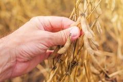 Рука фермера в поле фасоли сои сбора готовом Стоковые Изображения