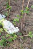 Рука фермера одела в перчатке давая химическое удобрение к soi Стоковое Изображение