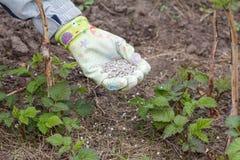 Рука фермера одела в перчатке давая химическое удобрение к soi Стоковое фото RF