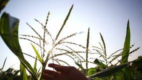 Рука фермера проверяя черенок мозоли с семенами в огороде, конце-вверх сток-видео