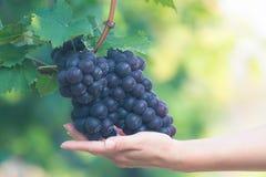 Рука фермера с свеже сжатыми черными виноградинами Стоковая Фотография