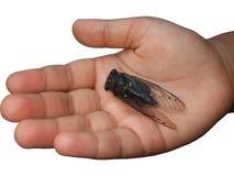 рука цикады ребенка Стоковая Фотография