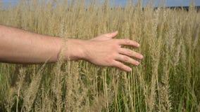 Рука человека бежать через пшеничное поле Крупный план ушей пшеницы мужской руки касающий хуторянин Принципиальная схема хлебоубо сток-видео