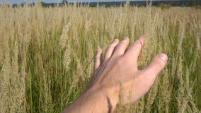 Рука человека бежать через пшеничное поле Крупный план ушей пшеницы мужской руки касающий хуторянин Принципиальная схема хлебоубо видеоматериал