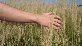 Рука человека бежать через пшеничное поле Крупный план ушей пшеницы мужской руки касающий хуторянин Замедленное движение концепци видеоматериал
