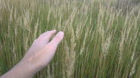 Рука человека бежать через пшеничное поле Крупный план ушей пшеницы мужской руки касающий хуторянин Принципиальная схема хлебоубо акции видеоматериалы