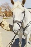 Рука человека держит белую лошадь под уздечкой, концом-вверх, видом спереди стоковое изображение rf