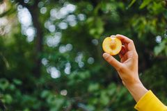 Рука человека держит свежо скомплектованный зрелый плод персика с отрезком косточки в 2 частях против предпосылки травы и деревье стоковая фотография rf