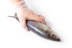 Рука шеф-поваров держит посоленных рыб на белой предпосылке Стоковые Изображения