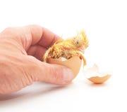 рука яичка цыпленка держит раковину которая Стоковые Изображения RF