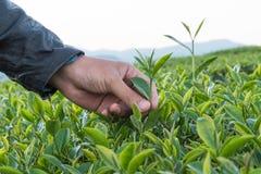 Рука для сбора листьев чая Стоковое фото RF