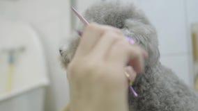 Рука groomer любимца режет волосы около глаз небольших серых волос собаки с ножницами в конце салона groomers вверх профессионал сток-видео