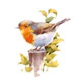 Рука Painted иллюстрации акварели птицы Робина изолированный на белой предпосылке Стоковые Изображения