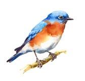 Рука Painted иллюстрации акварели птицы синей птицы изолированный на белой предпосылке Стоковые Изображения RF