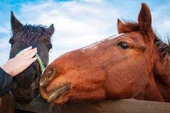 Рука ` s женщины штрихуя голову лошади стоя в конюшне, лошадь с головным снаружи конюшни стоковое изображение