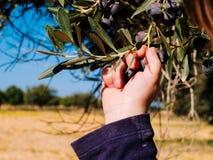 Рука ` s младенца выбирает оливки от завода Стоковые Изображения
