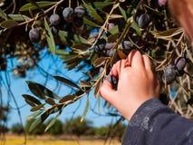Рука ` s младенца выбирает оливки от завода Стоковые Фотографии RF