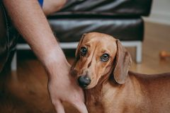 Рука ` s предпринимателя лаская коричневого ровного щенка таксы волос стоковые изображения