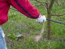 Рука ` s человека засует удобрение Важные шаги для того чтобы позаботиться о яблоневый сад Стоковые Изображения RF