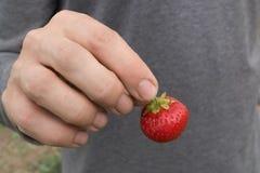 Рука ` s человека держит клубнику на серой предпосылке Стоковое Изображение