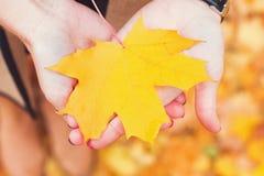 Руки держа желтый конец-вверх кленового листа Стоковые Фотографии RF