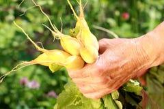 руки держа корень редиски Стоковая Фотография RF