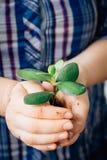 Руки держа малый росток зеленого суккулентного завода Стоковые Изображения RF