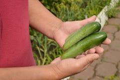 руки держа огурец, земледелие, садовничать, и фермера с урожаем огурцов Стоковые Изображения RF
