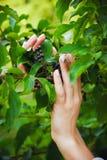 Руки девушки держат ветвь с зелеными листьями и черным berr Стоковые Фото