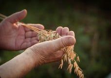 Руки держат колоски овсов Стоковые Изображения
