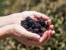 Руки держат несколько зрелых ягод красного цвета и черные смородины на предпосылке зеленых кустов Стоковое Изображение