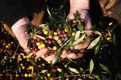 Руки держа оливки Сбор оливок Стоковое Изображение