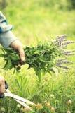 Руки держа свежие травы стоковые фотографии rf