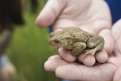 Руки держа лягушку Стоковая Фотография