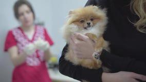 Руки женщины держа медицинский осмотр небольшого шпица собаки pomeranian ждать в ветеринарном конце клиники вверх Blured видеоматериал