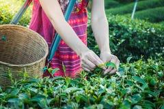 Руки женщины держа молодой зеленый чай выходят на холм в утро с лучем восхода солнца стоковое изображение