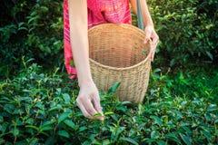 Руки женщины держа молодой зеленый чай выходят на холм в утро с лучем восхода солнца стоковые фото