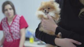 Руки женщины держа шпица небольшой собаки pomeranian ждать их поворот к ветеринарному концу клиники вверх Женщина Blured сток-видео