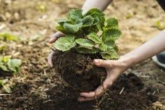 Руки женщины держа клубнику в саде Стоковые Изображения RF
