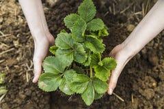 Руки женщины держа клубнику в саде Стоковое Фото