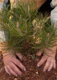 Руки женщины засаживая дерево Стоковая Фотография