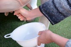 Руки женщины доя парное молоко от молочной коровы имитируют стоковая фотография rf