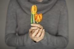 Руки женщины при совершенное искусство ногтя держа розовую весну цветут тюльпаны, чувственная съемка студии Стоковое фото RF