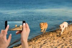 Руки женщины с передвижным сотовым телефоном для того чтобы принять фото как 2 labrador бегут вдоль речного берега Стоковая Фотография RF