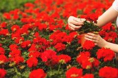 Руки женщин держат красивые красные цветки гераниума в саде стоковое фото