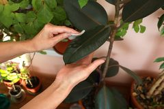 Руки женщин очищают пыль от листьев фикуса Robusta с влажной пусковой площадкой хлопка стоковые изображения rf