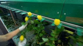 Руки заводской рабочий устанавливают желтые розы в машину грейдера видеоматериал