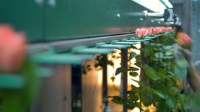 Руки заводской рабочий устанавливают розовые розы в машину грейдера сток-видео